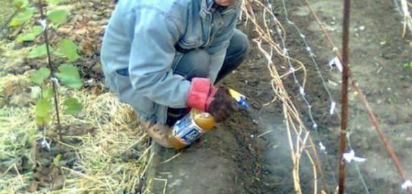 Опрыскивание винограда осенью перед укрытием на зиму