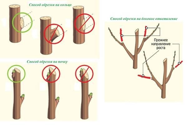 Когда можно проводить обрезку плодовых деревьев