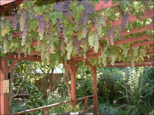 Как правильно посадить саженец винограда