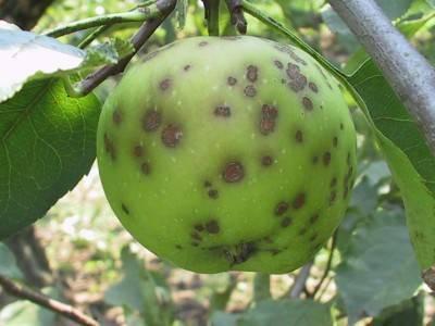 Черные точки на яблоках как бороться