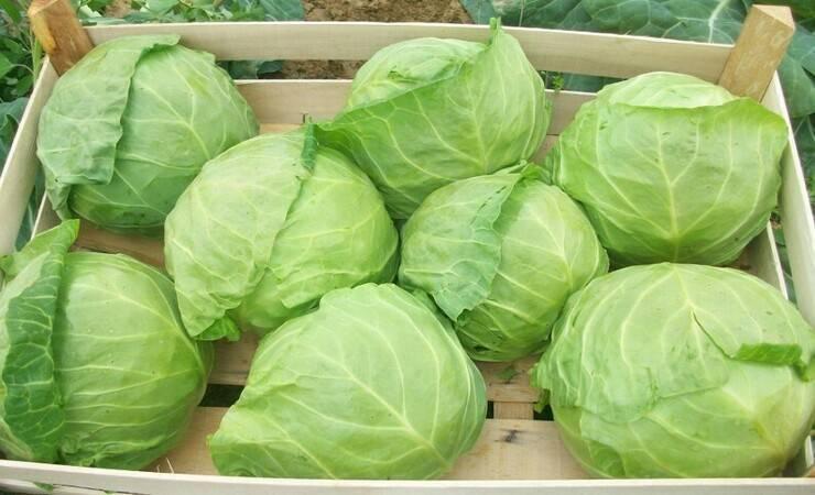 Как сохранить капусту в погребе до весны