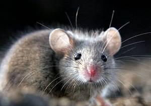 Как избавиться от мышей в деревенском доме