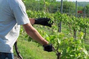 Посадка винограда расстояние между кустами схема