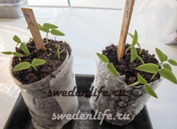 Как прорастить семена перца