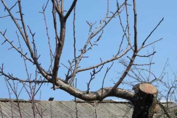 Когда можно обрезать плодовые деревья