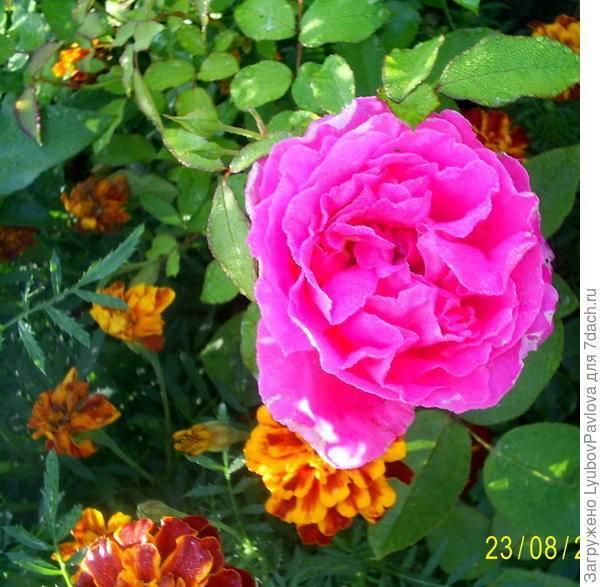 Роза двойное удовольствие фото