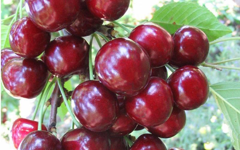 Сорта вишни для юга россии