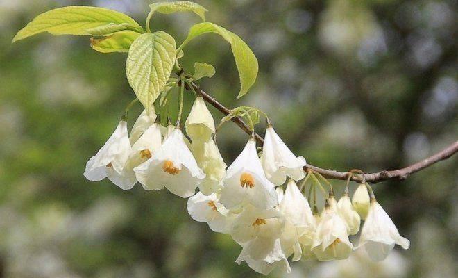 Халезия каролинская ландышевое дерево