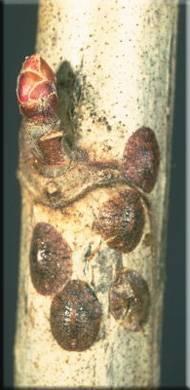 Щитовка на лавре