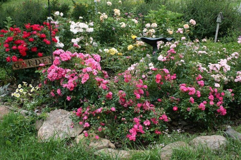 Роза парковая посадка и уход пошагово