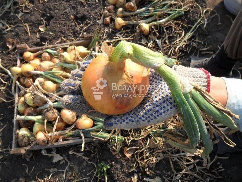 Уборка и просушка урожая лука для закладки на длительное хранение