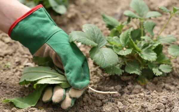 Как обработать клубнику весной