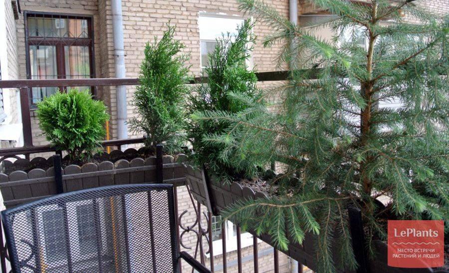 Хвойные растения для дома