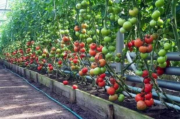 Томат урожайный парадокс f1
