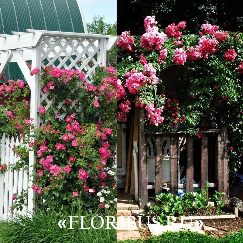 Каталог плетистых роз с фото и названиями