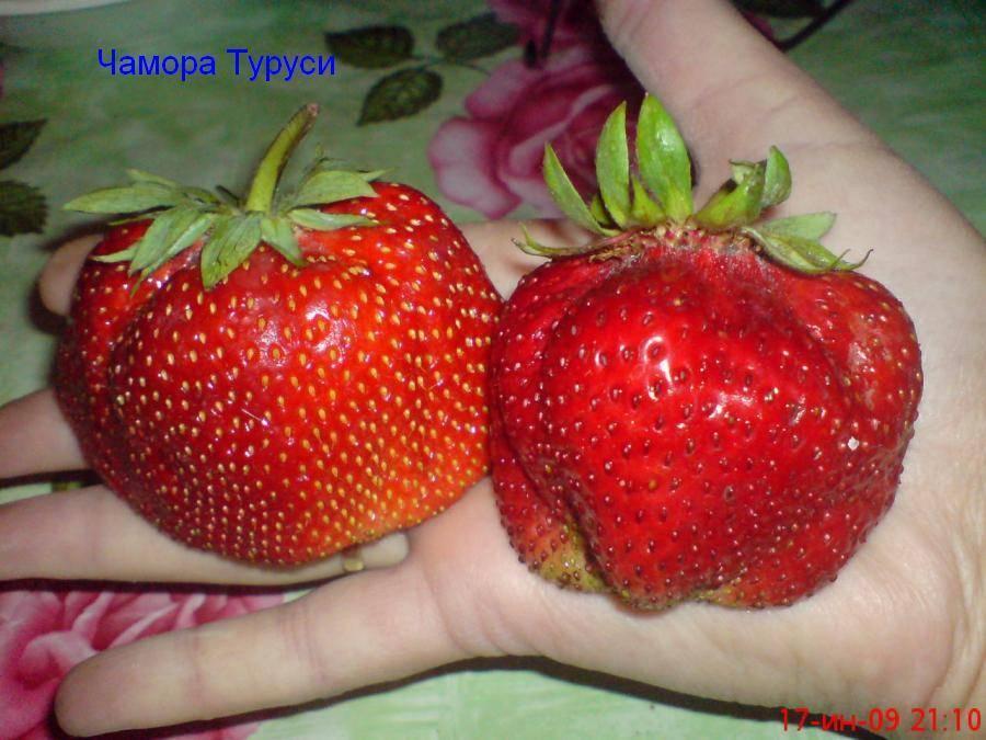 Клубніка сорти врожайні нові в україні