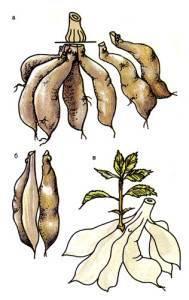 Луковицами размножаются тюльпан георгин пырей ландыш
