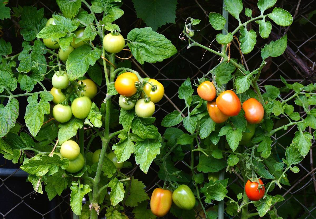 Рассказ про помидор