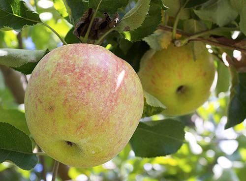 Яблоки джонаголд фото