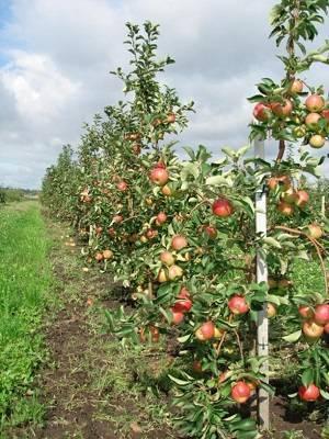 Популярные сорта яблонь для средней полосы