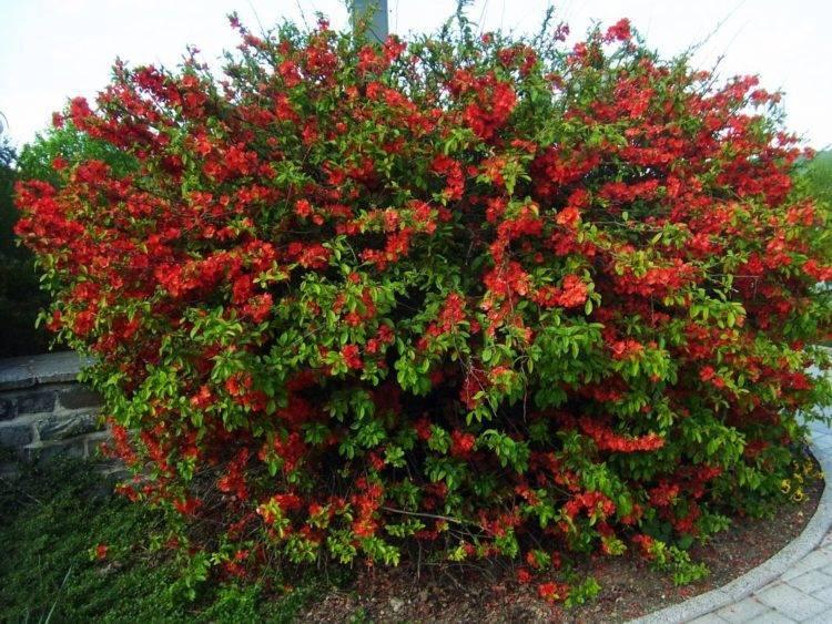 Низкорослые плодовые деревья для сада