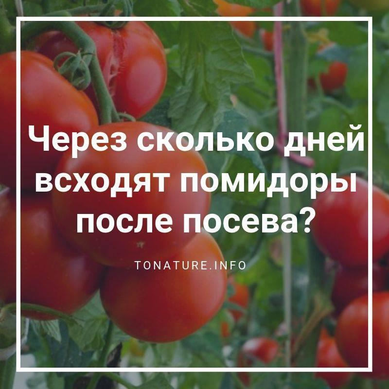 Через сколько дней всходят помидоры