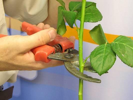 Как укоренить розу из букета в картошке