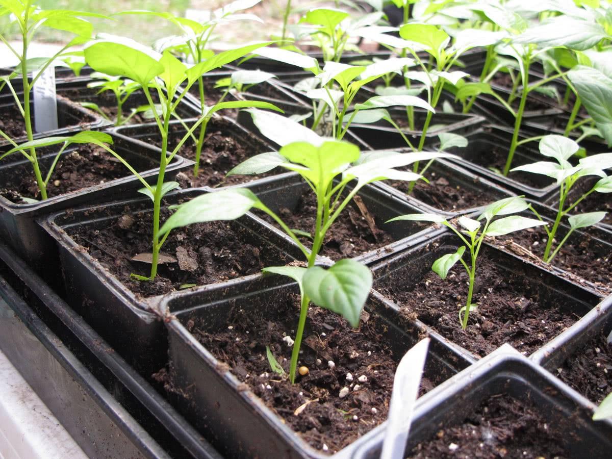 Посев перца на рассаду