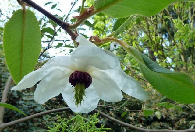 Магнолия растение фото