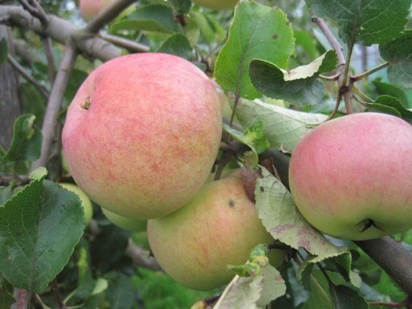 Яблоня бочонок