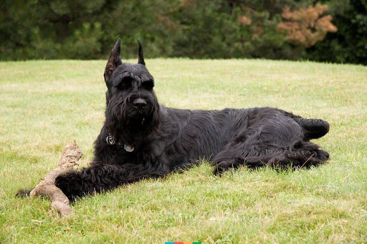Лучшие породы сторожевых собак для частного дома