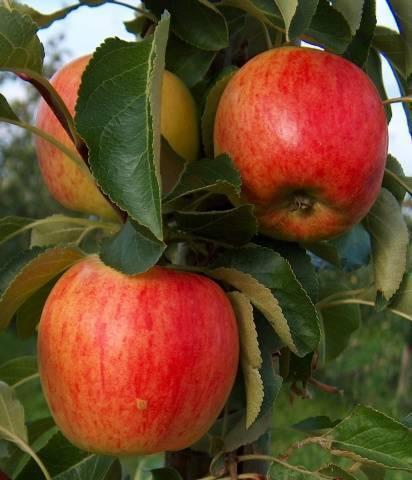 Яблони карлики мазунина