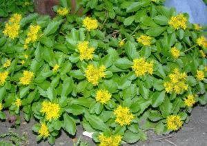 Растение седум фото