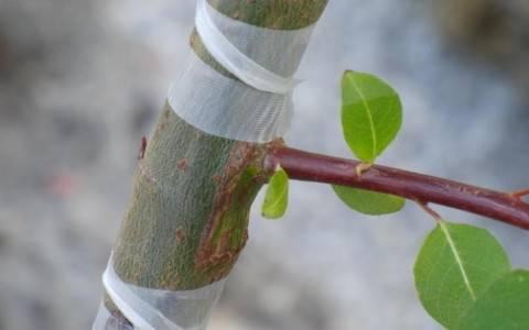 Як правильно щепити плодові дерева