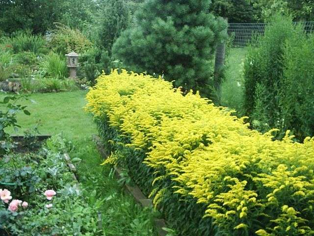 Декоративно лиственные многолетники для сада с фото