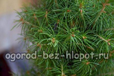 болезни елок и их лечение