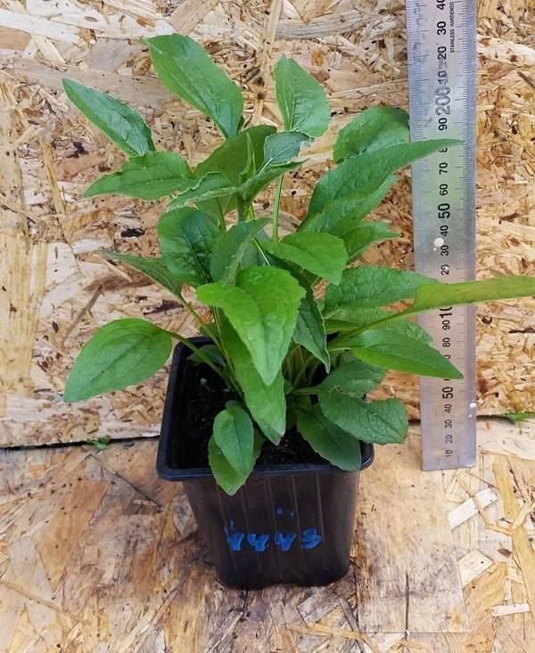 Echinacea supreme cantaloupe
