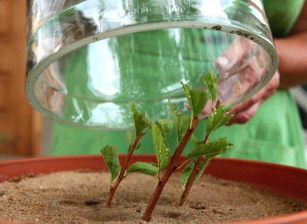 Размножение пузыреплодника черенками