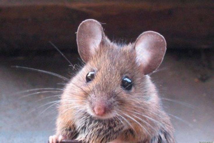 Борьба с мышами в квартире народными средствами