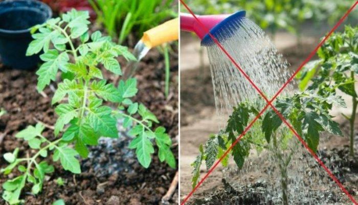 Как поливать рассаду помидор
