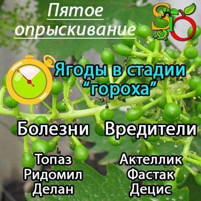 Календарь опрыскивания винограда