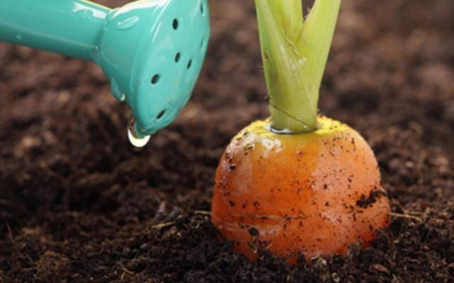 Морковь сластена описание
