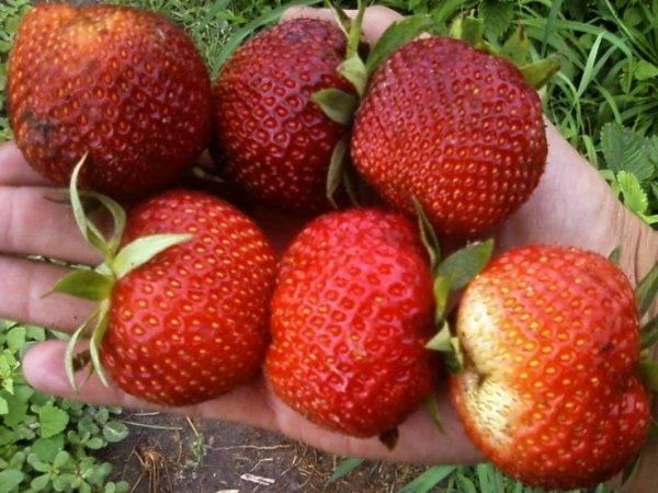 Сорта клубники садовой