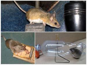 Чем отравить мышей в домашних условиях