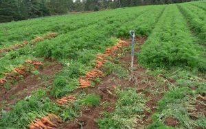 Как правильно вырастить морковь