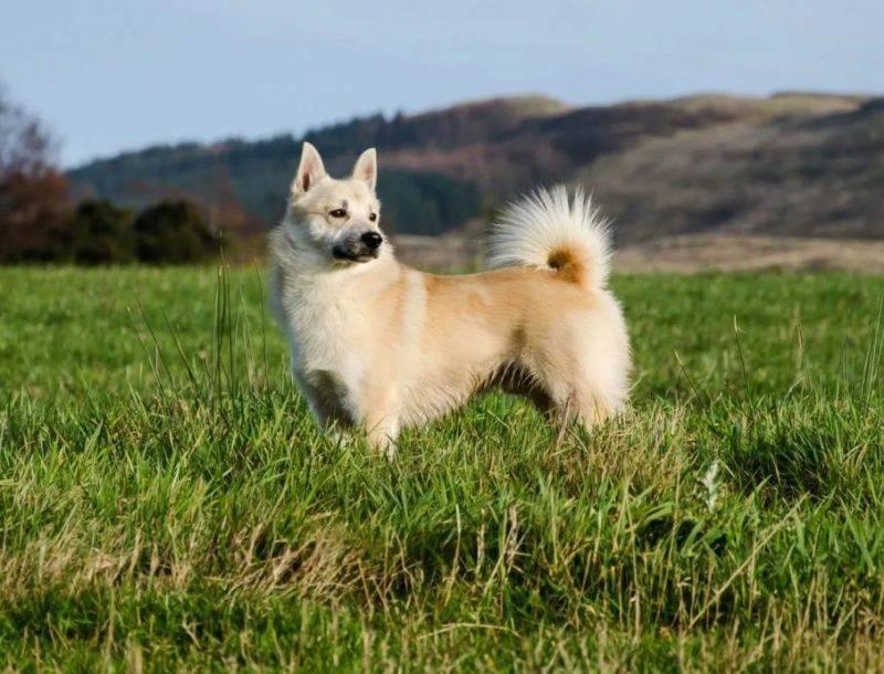 Какие породы собак подходят для охраны дома