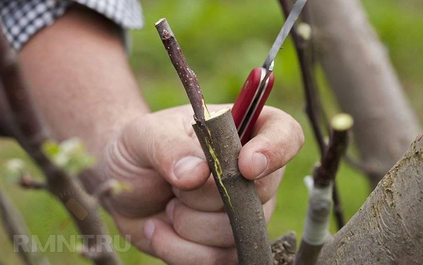 Когда лучше прививать плодовые деревья