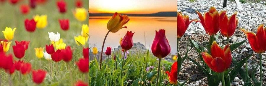 Тюльпан гибридный