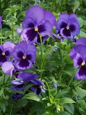 Многолетние цветы зимостойкие фото