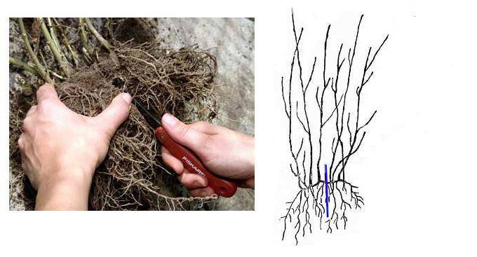 Как размножить спирею черенками